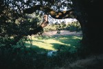 Oak Tree in Cupertino California (Photo taken by Sue Chambers)